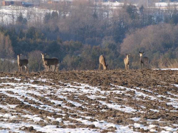 bolton_deer1