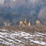 bolton_deer2