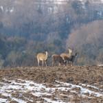 bolton_deer3