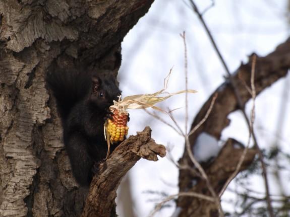 Caledon Squirrel
