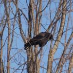 crow_original