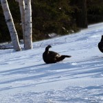 wildturkeys2
