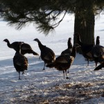 wildturkeys3