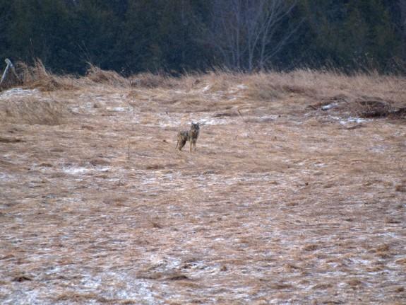 coyote_caledon1