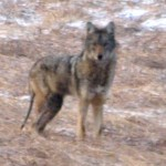 coyote_caledon2