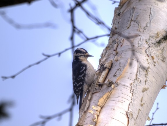small_woodpecker1