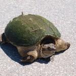 turtle_crossing2