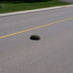 turtle_crossing3