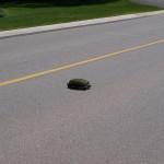 turtle_crossing3