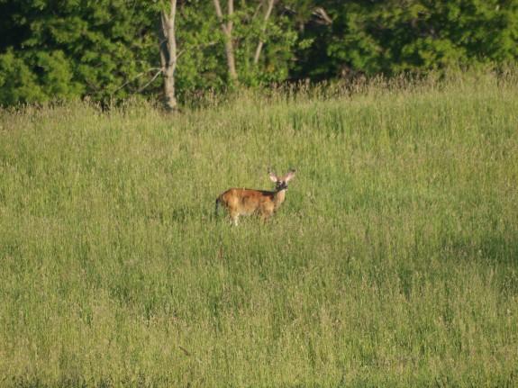 deer-caledon1