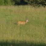 deer-caledon2