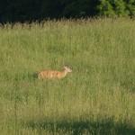 deer-caledon3