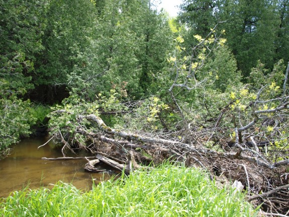 Fallen Tree on the Humber River