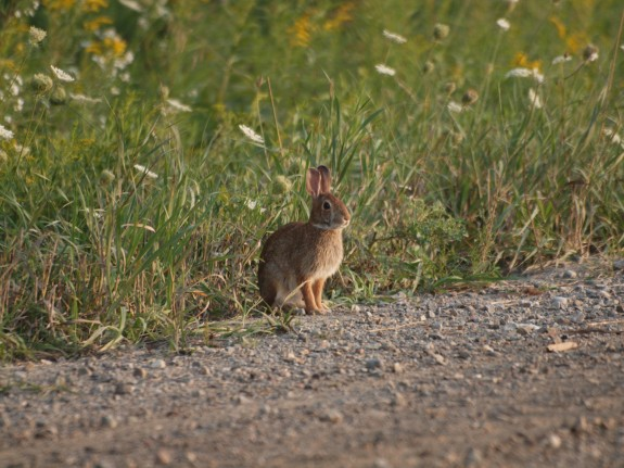 Eastern_Cottontail_Rabbit_1
