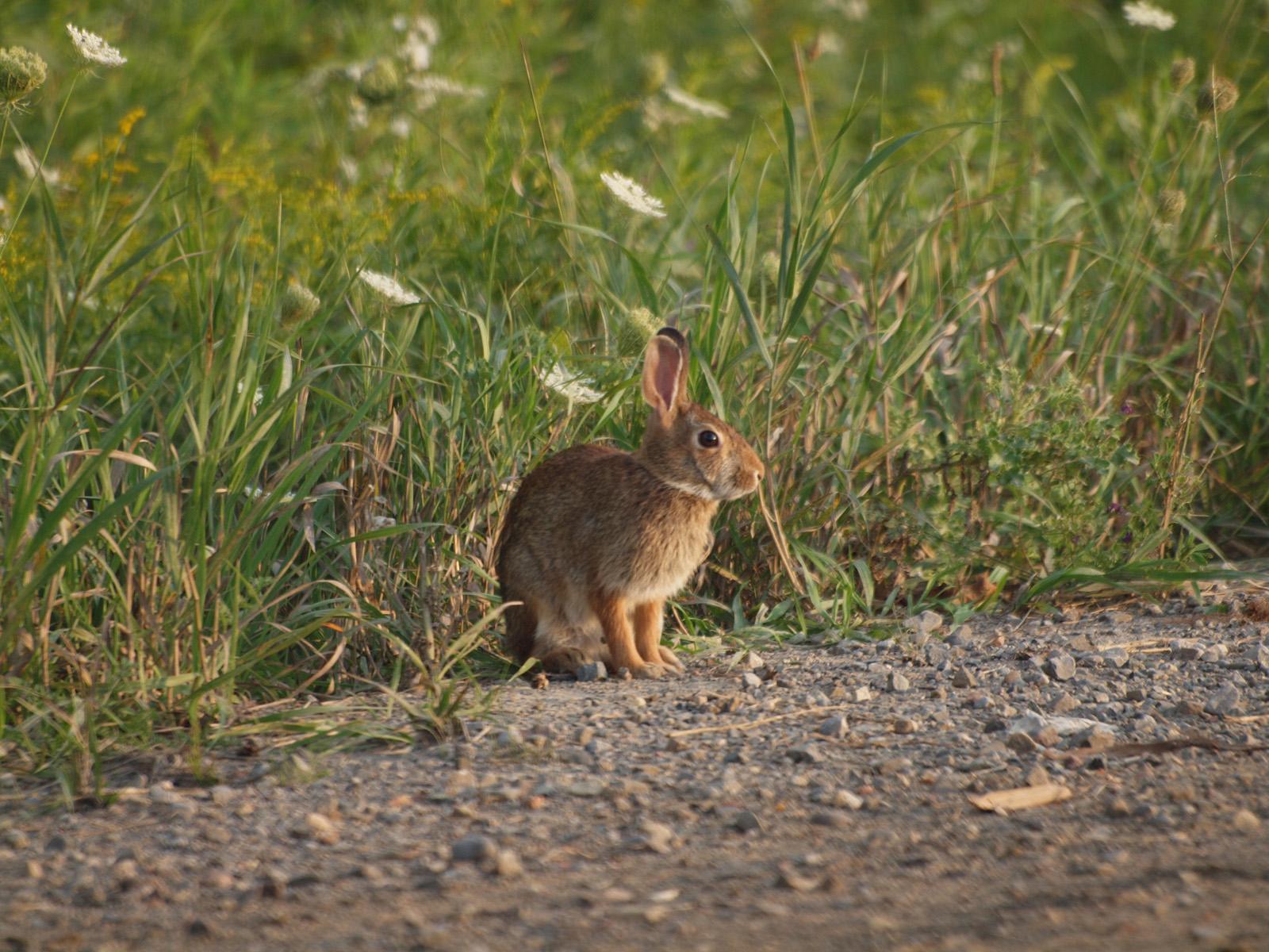 Cottontail rabbit habitat - photo#11