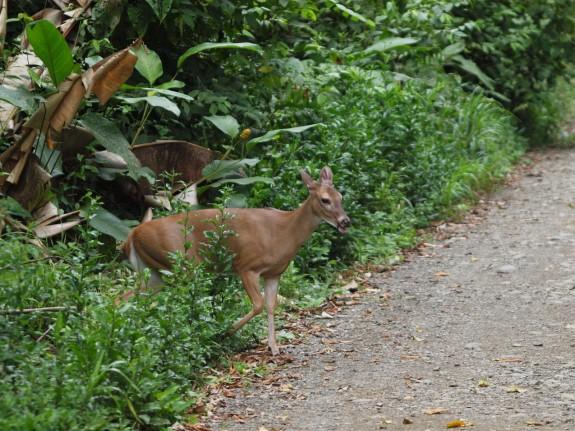 tropical_deer