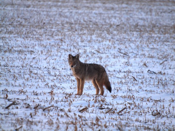 Coyote at Hwy 7 & 427 near Caledon