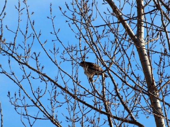 Hawk sitting in Caledon