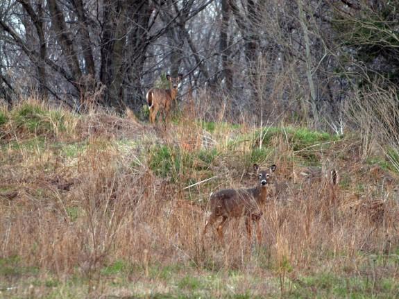 Spring Time Deer in Caledon, Ontario #1
