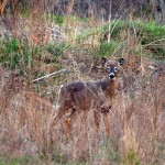 Spring Time Deer in Caledon, Ontario #3