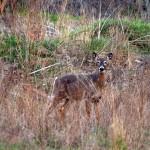 Spring Time Deer in Caledon, Ontario #3