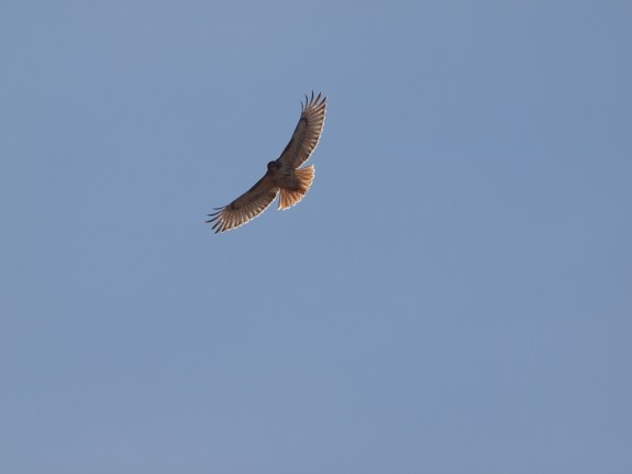 Flying Red Tailed Hawk in Caledon, Ontario