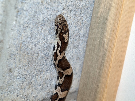 Adult Milk Snake in Caledon, Ontario