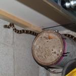 Milk Snake #2