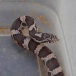 Milk Snake #3