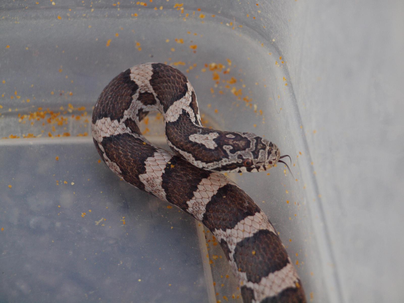 Milk Snake #2 Milk Snake #3 ...