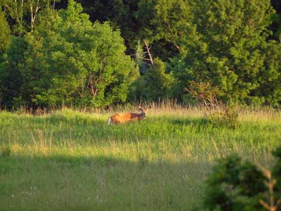 Male Deer, Caledon, Ontario - June 2010