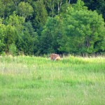 Male Deer, Caledon, ON