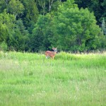 Young Deer, Caledon, Ontario
