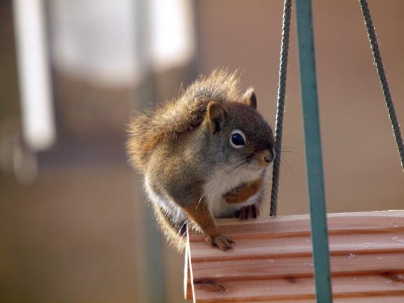 Red Squirrel Caledon, Ontario