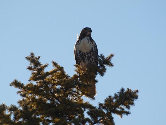 Hawk in Caledon, Ontario near Orangeville