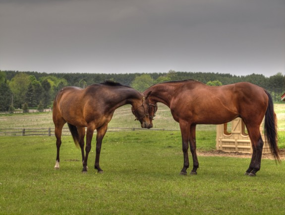 Two horses in Caledon, Ontario
