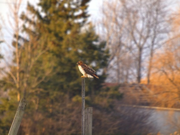 Hawk on a Pole in Caledon, Ontario